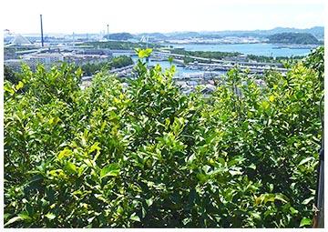 金沢区柴漁港とみかん畑
